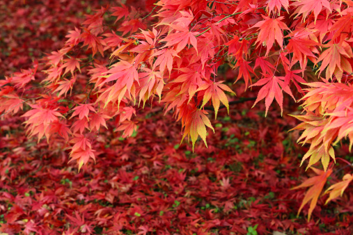 Japanese Maple「Maple tree in blaze of autumn colour」:スマホ壁紙(11)