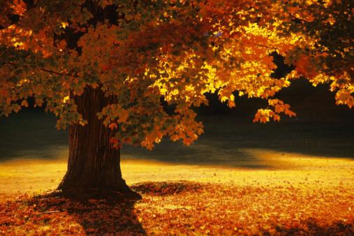 風景(季節別)「Maple tree , Bennington , Vermont」:スマホ壁紙(11)