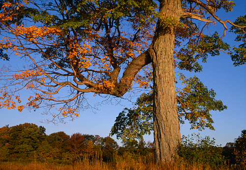 サトウカエデ「Maple tree after sunrise」:スマホ壁紙(19)