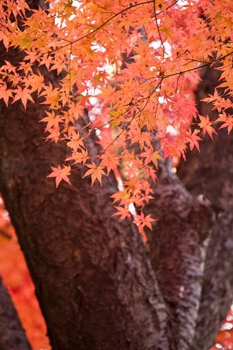 Japanese Maple「Maple tree at Naganuma park, Tokyo Prefecture, Honshu, Japan」:スマホ壁紙(19)