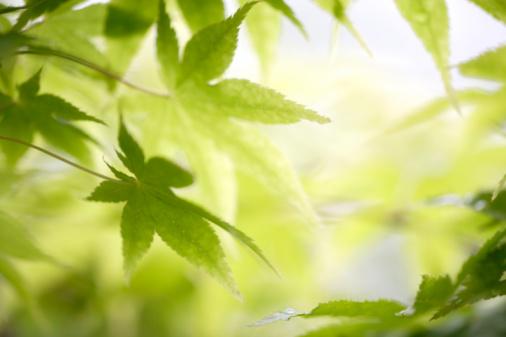 Japanese Maple「Maple tree leaves. Yaita, Tochigi Prefecture, Japan」:スマホ壁紙(3)