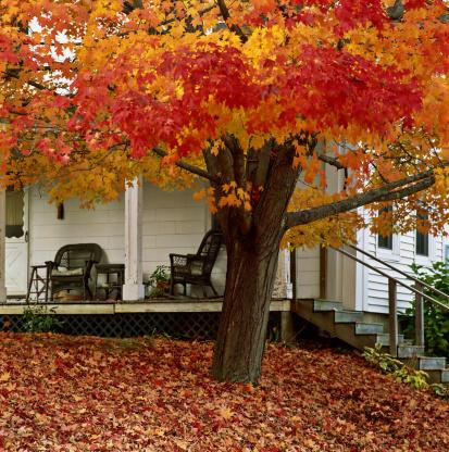 かえでの葉「Maple (Acer) tree and verandah, New England, USA」:スマホ壁紙(3)