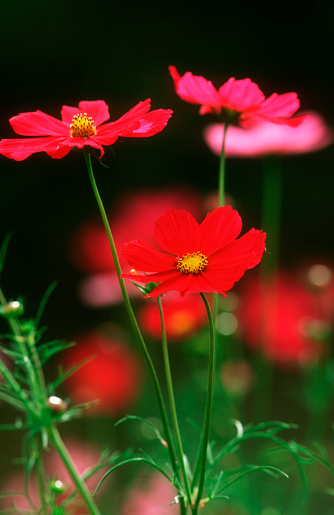 Cosmos Flower「Pink and Red Cosmos Flowers」:スマホ壁紙(17)
