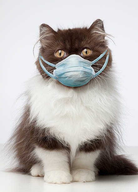 Brown and White Persian Cat wearing germ mask :スマホ壁紙(壁紙.com)