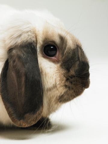 Animal Ear「Brown and white rabbit, close-up」:スマホ壁紙(5)
