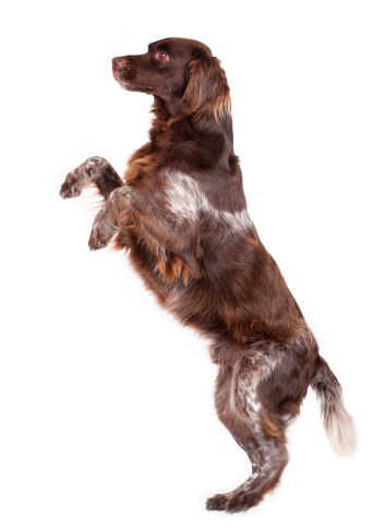 Standing「A brown and white dog on his hind legs」:スマホ壁紙(12)