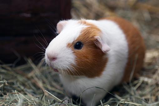Animal Whisker「Brown and white guinea pig on straw」:スマホ壁紙(2)