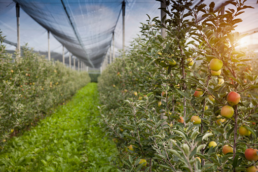 Alto Adige - Italy「Apples growing on trees」:スマホ壁紙(13)
