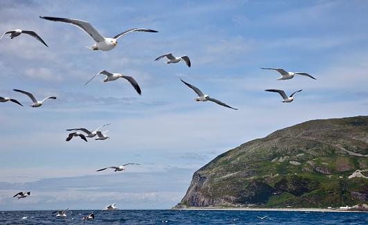 Herring Gull「Ailsa Craig with gull flock」:スマホ壁紙(6)
