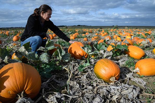 Farmer「Pumpkins Growing In Kent Fields Ahead Of Halloween」:写真・画像(14)[壁紙.com]