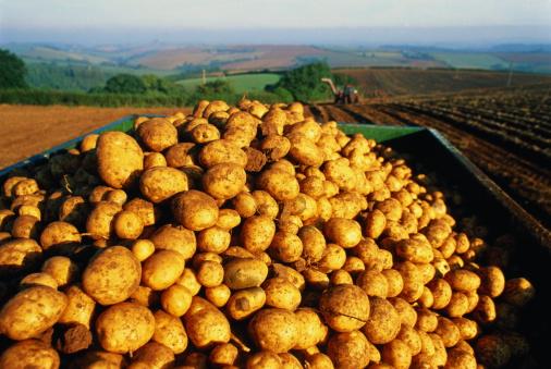 Harvesting「Trailer loaded with potato harvest in field」:スマホ壁紙(3)