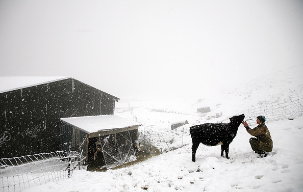 Domestic Animals「Snow Continues To Descend On New Zealand」:写真・画像(12)[壁紙.com]