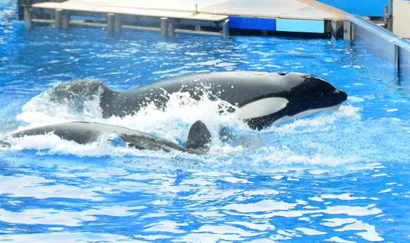 Sea World - Florida「Killer Whale That Killed Its Trainer Returns To Show At SeaWorld」:写真・画像(8)[壁紙.com]
