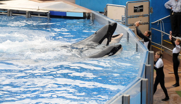 Sea World - Florida「Killer Whale That Killed Its Trainer Returns To Show At SeaWorld」:写真・画像(6)[壁紙.com]