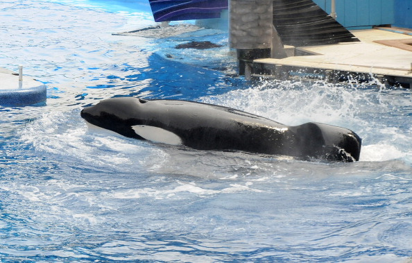 Sea World - Florida「Killer Whale That Killed Its Trainer Returns To Show At SeaWorld」:写真・画像(13)[壁紙.com]