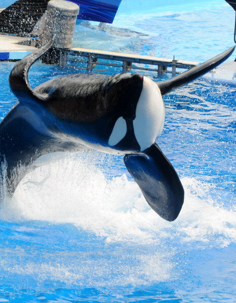 フロリダ州オーランド「Killer Whale That Killed Its Trainer Returns To Show At SeaWorld」:写真・画像(13)[壁紙.com]