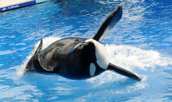 Orlando「Killer Whale That Killed Its Trainer Returns To Show At SeaWorld」:写真・画像(3)[壁紙.com]