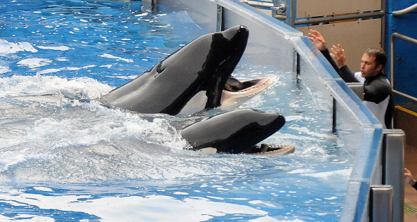 Sea World - Florida「Killer Whale That Killed Its Trainer Returns To Show At SeaWorld」:写真・画像(7)[壁紙.com]