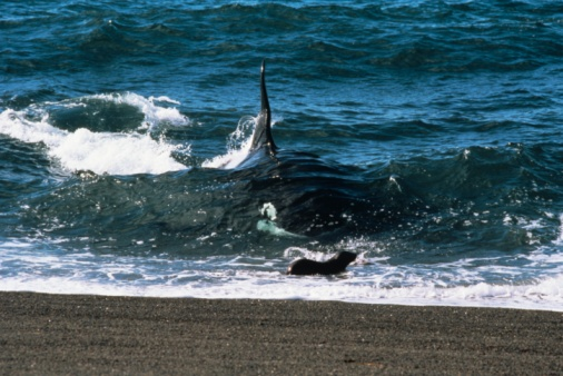 Victim「Killer whale (Orcinus orca) attacking sea lion , Vancouver Island, British Columbia, Canada」:スマホ壁紙(15)
