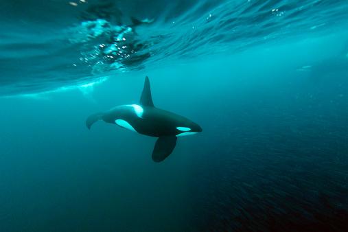 ノルウェー「A killer whale feeding on a school of herrings」:スマホ壁紙(6)