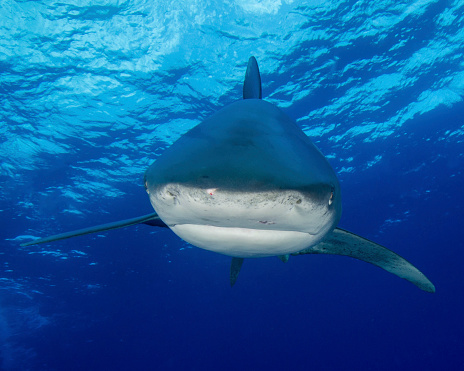 Furious「A close-up encounter with an oceanic whitetip shark (C. longimanus) in the Bahamas.」:スマホ壁紙(17)