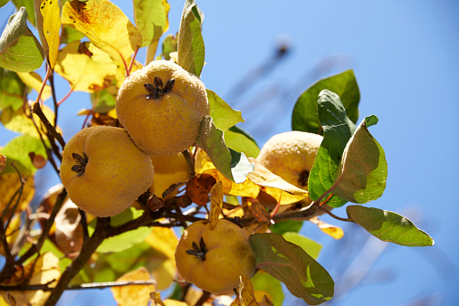 カリン「Quinces, Cydonia oblonga, hanging on tree」:スマホ壁紙(5)