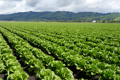 Farm「Rows of Romaine Lettuce Growing on Farm」:スマホ壁紙(9)