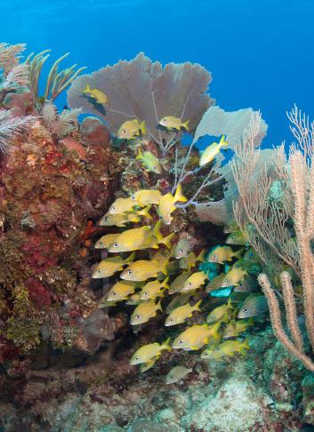 Soft Coral「Blue Striped grunts schooling on Caribbean reef.」:スマホ壁紙(19)