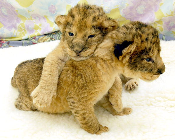 Three Lions「Newborn Lion Cubs Progress At San Francisco Zoo」:写真・画像(14)[壁紙.com]