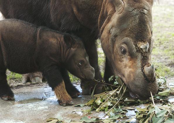 Animal Wildlife「Cincinnatti Zoo?s Baby Sumatran Rhino Makes First Public Appearance」:写真・画像(8)[壁紙.com]
