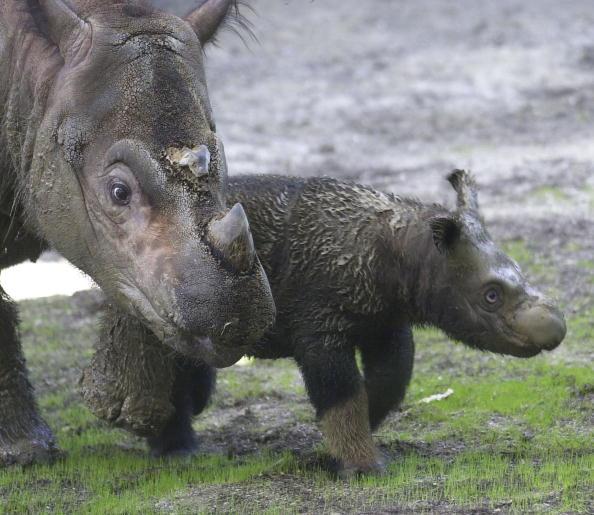 Animal Wildlife「Cincinnatti Zoo?s Baby Sumatran Rhino Makes First Public Appearance」:写真・画像(10)[壁紙.com]