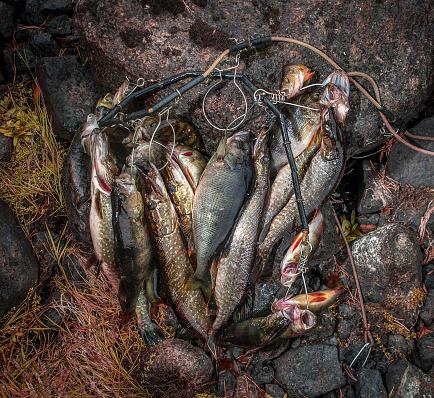 Pike - Fish「Caught fish on spinning.」:スマホ壁紙(15)