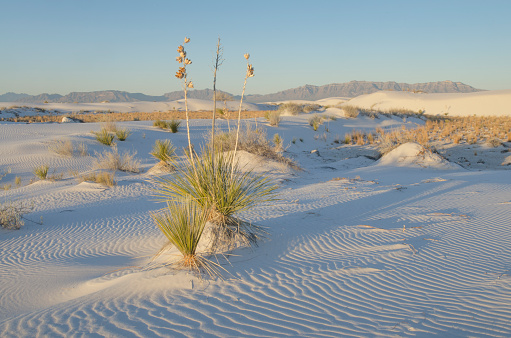 New Mexico「Yucca, White Sands National Monument」:スマホ壁紙(19)