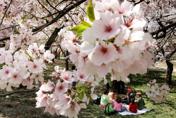 春「Cherry Blossoms Bloom In Washington」:写真・画像(5)[壁紙.com]