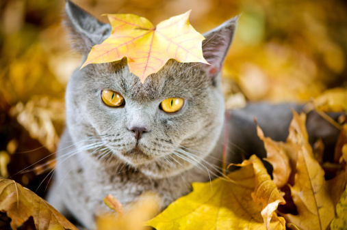 かえでの葉「かわいい猫 oudoors」:スマホ壁紙(4)