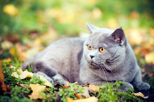 ショートヘア種の猫「かわいい猫 oudoors」:スマホ壁紙(6)