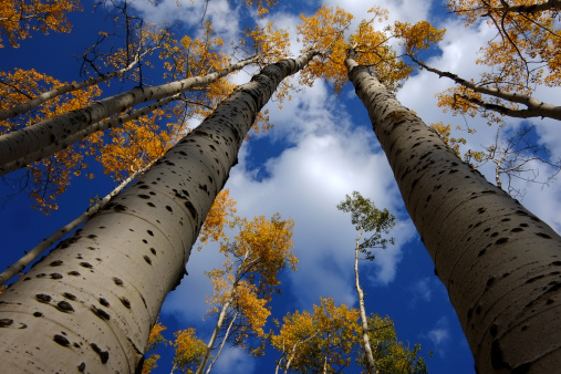 Aspen Tree「fall colors in Colorado Rocky Mountains」:スマホ壁紙(12)