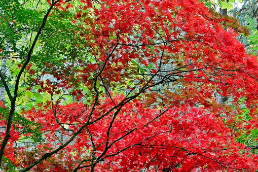 Japanese Maple「Fall Colors in Garden」:スマホ壁紙(6)