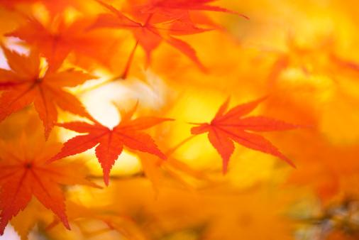Japanese Maple「Fall colors 」:スマホ壁紙(15)