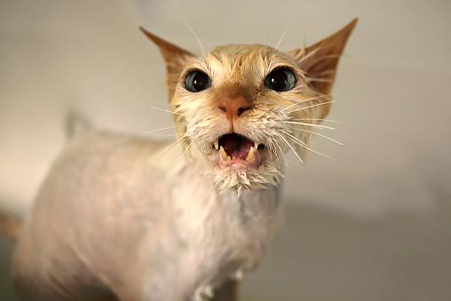 バーマン猫「Wet Birman cat meowing」:スマホ壁紙(3)