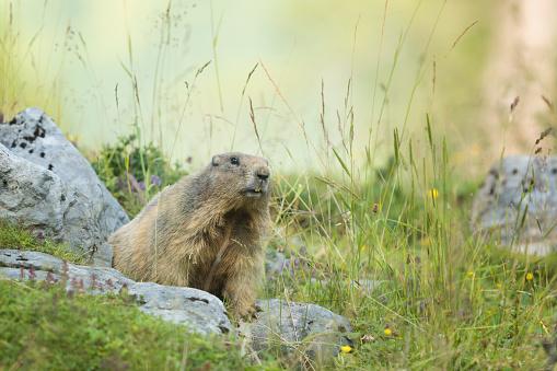 flower「アルパイン マーモット (Marmota marmota)」:スマホ壁紙(18)