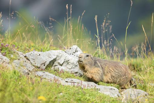 flower「アルパイン マーモット (Marmota marmota)」:スマホ壁紙(19)