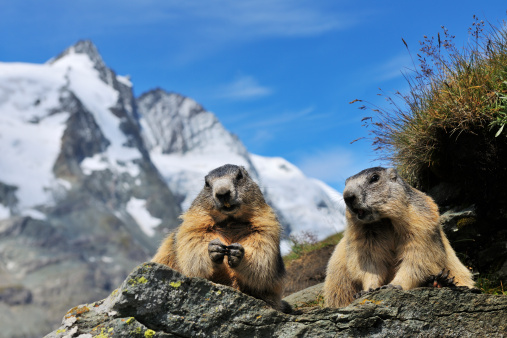 Hohe Tauern Range「Alpine Marmots, Marmota marmota」:スマホ壁紙(11)