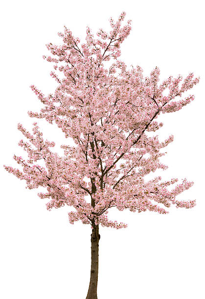 Spring Pink Blossom Tree Isolated on White:スマホ壁紙(壁紙.com)