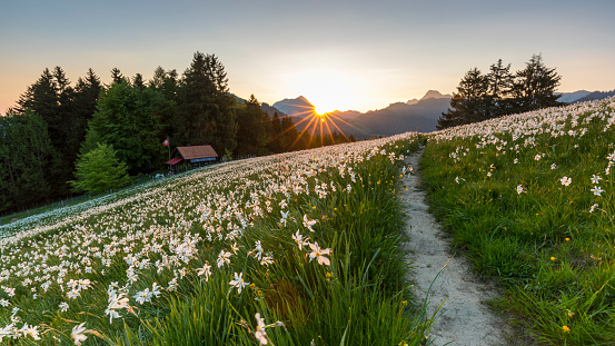 ラッパズイセン「Landscape of field of wild narcissus (Narcissus poeticus) in Swiss Alps, Saint-Legier-La Chiesaz, Vaud, Switzerland」:スマホ壁紙(10)