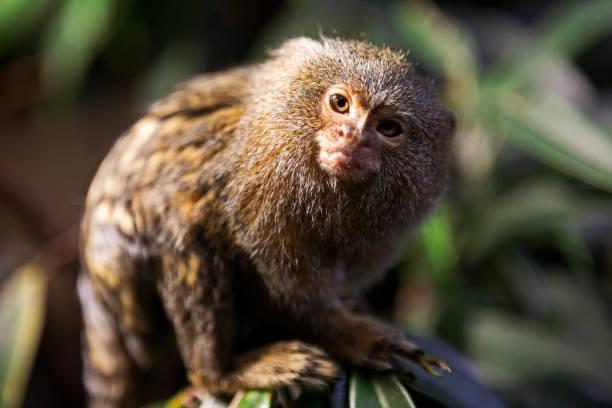 The pygmy marmoset (Cebuella pygmaea):スマホ壁紙(壁紙.com)