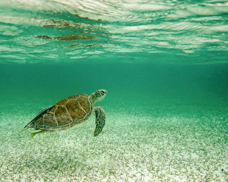 Green Turtle「Grean sea turtle with reflection in surface, Tiger Beach, Bahamas.」:スマホ壁紙(12)