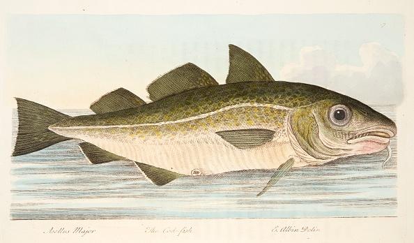 Animal Body Part「The Cod Fish」:写真・画像(11)[壁紙.com]