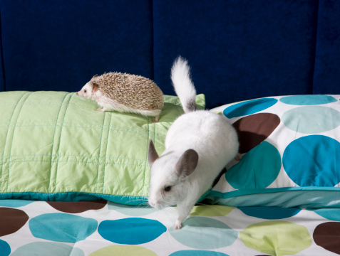 Hedgehog「Chinchilla and hedgehog on bed」:スマホ壁紙(16)