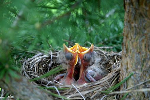 Beak「Chick in the nest」:スマホ壁紙(15)